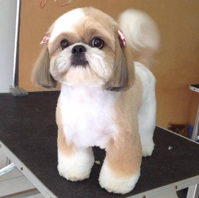 Hairstyles for a Yorkie Maltese  Cuteness