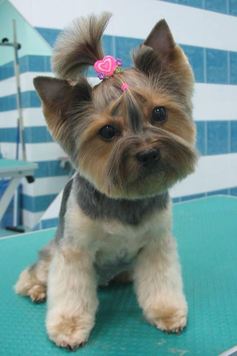 Coupe tendance pour chien ou l asian style dogs academy - Coupe de poils pour yorkshire ...